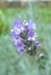 SP-Lavender