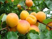 Provence appricots