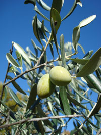 sp-green-olives